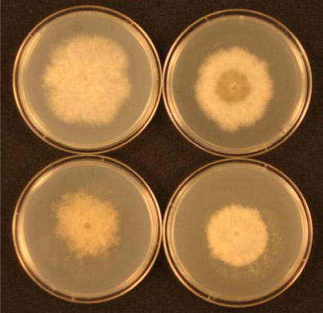 Appliquer différents fongicides de la même famille ne permet pas de contrôler une souche pathogène avec résistance croisée.