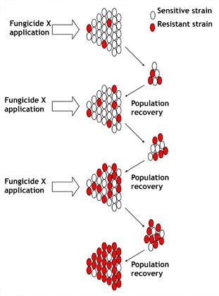 Des applications du même fongicide avantagent les souches résistantes en les sélectionnant.