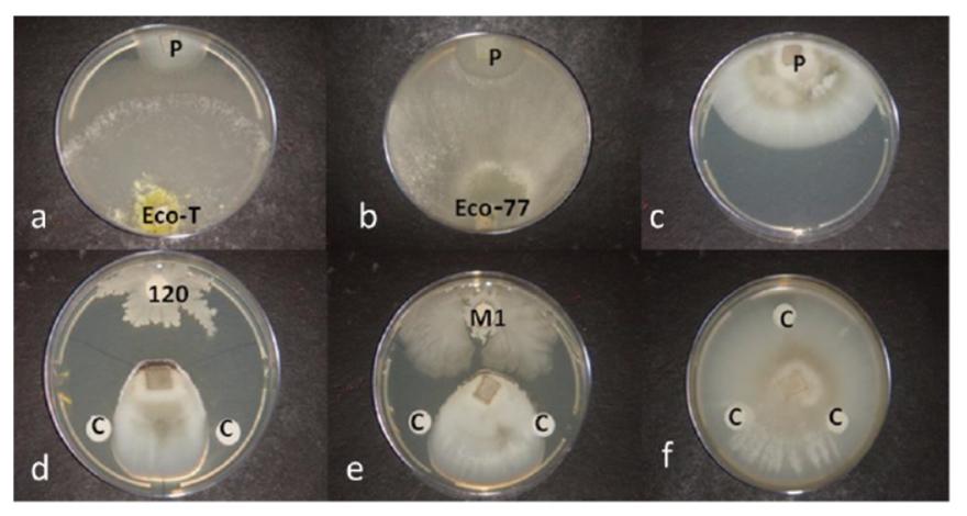 Efficacité de différentes souches fongiques sur GLS