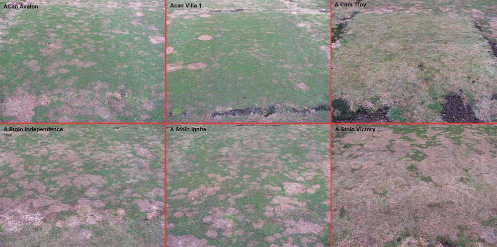 Comparaison de la résistance à la fusariose froide pour différentes variétés d'agrostides en zone de montagne