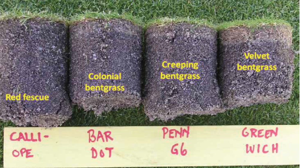 Différence de production de feutre entre les différentes agrostides.
