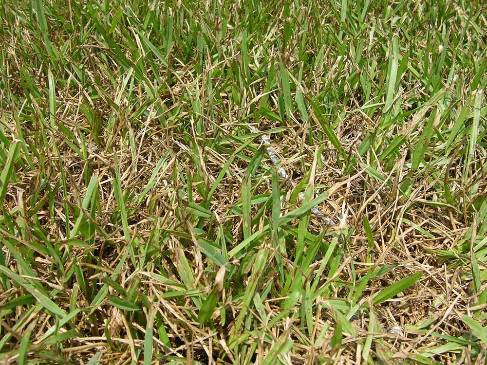Gray Leaf Spot sur Saint Augustine Grass