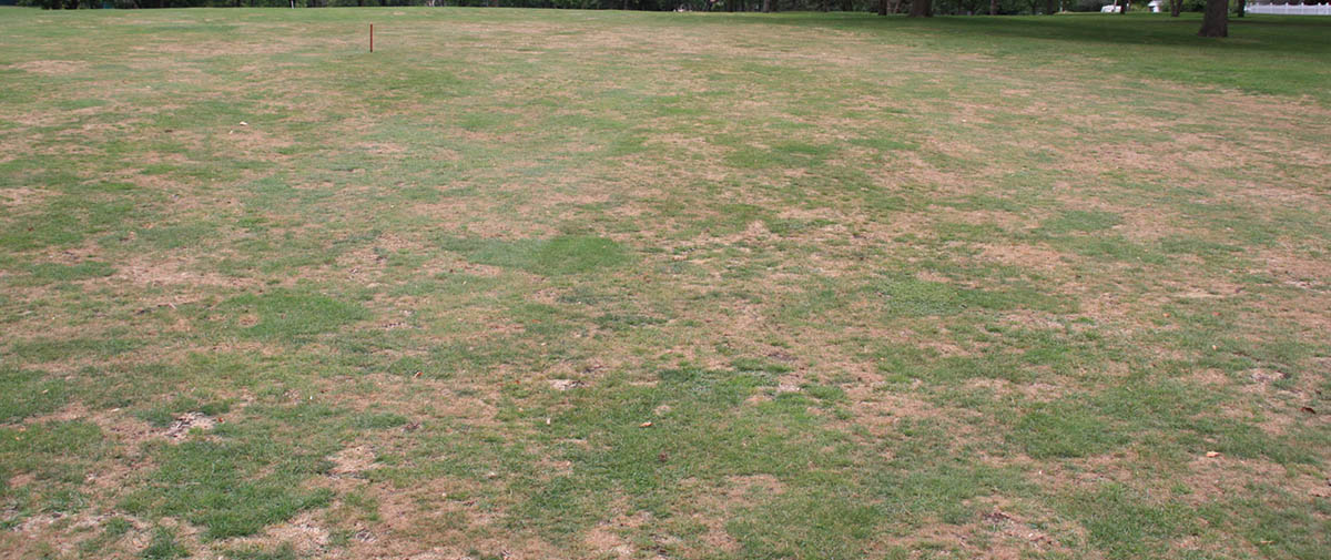 Gray Leaf Spot se développant sur Fairway de golf en Septembre