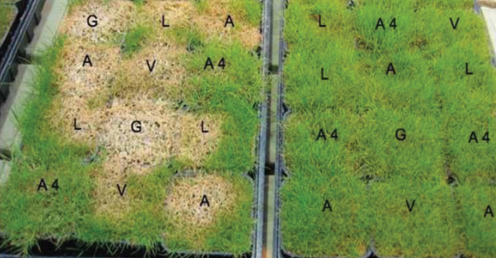 Résistance à la fusariose froide pour des agrostides acclimatées (droite) et non acclimatées (gauche).