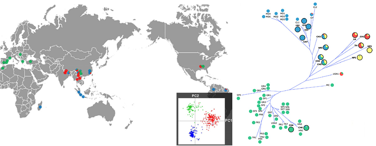 proportion des souches appartenant aux 3 groupes identifiés dans l'étude depuis les 55 souches isolées sur riz et arbre génétique