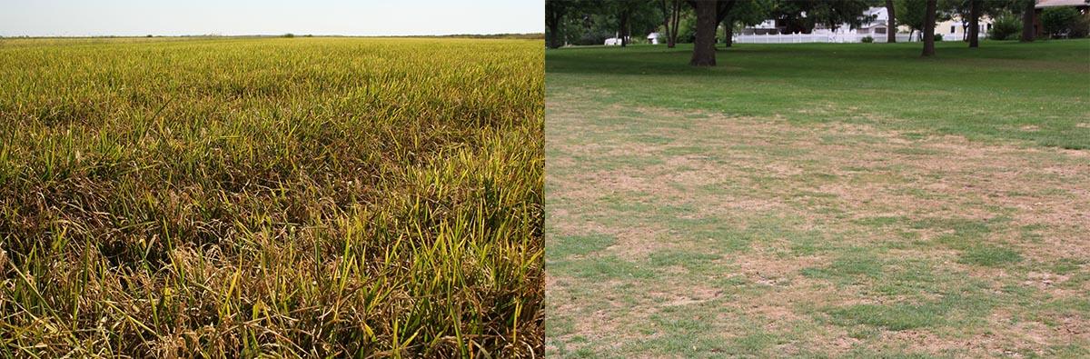dégâts sévères causés par P. Grisea sur riz (Rice Blast) à gauche et sur gazon (Gray Leaf Spot) à droite