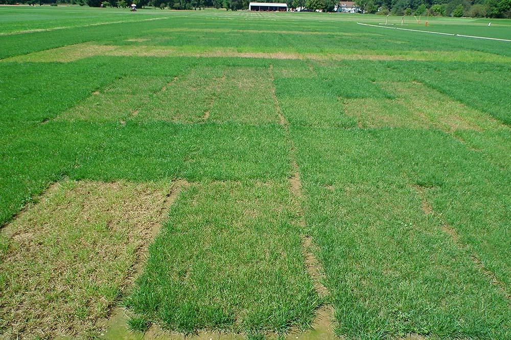 Sélection de cultivars résistants à la pyriculariose du gazon