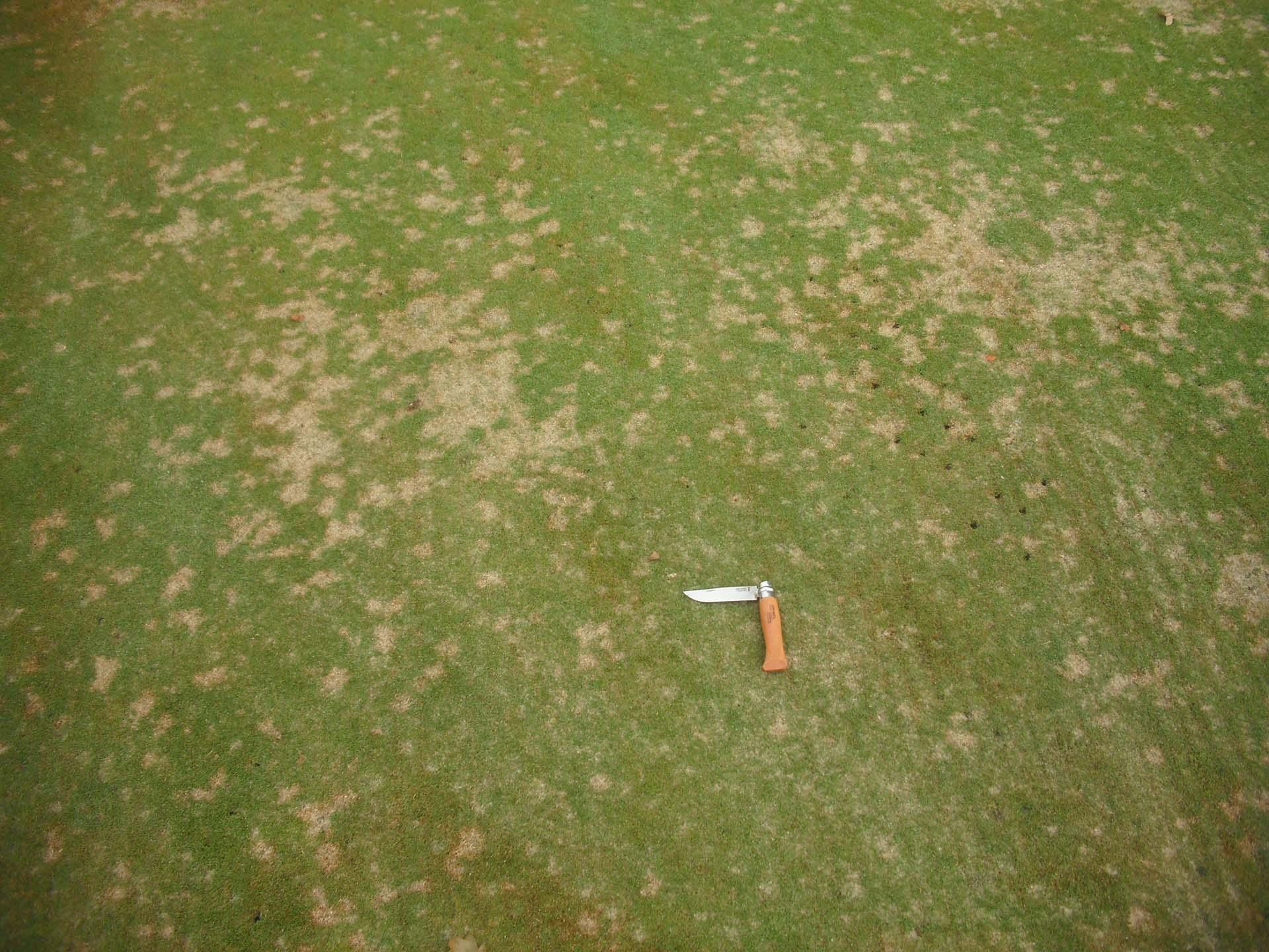 Dollar spot sur green de golf