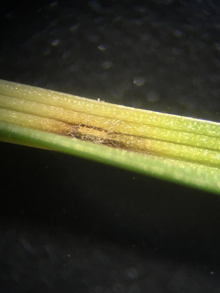 Lésion de Pyricularia oryzae sur raygrass anglais