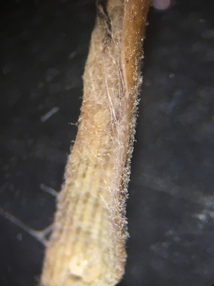 Forte sporulation de Pyricularia oryzae sur raygrass anglais