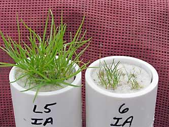 Effet des phosphates et phosphites sur la nutrition en phosphore du pâturin annuel