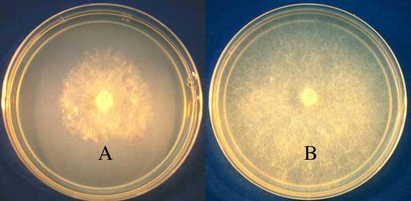 Effet in-vitro des phosphates (B) et des phosphonates (A) sur Pythium sur milieu gélosé à base de semoule de maïs. En présence de phosphites, la souche de Pythium est inhibée alors qu'elle ne l'est pas en présence de phosphates.